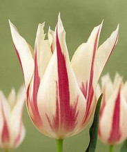 Tulipani Marylin