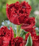 Tulipani Maywood