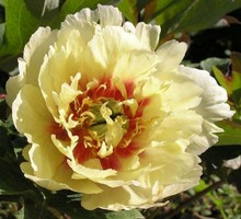 Peonia Yellow Heaven2
