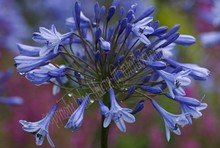 Agapanthus Dr.Brouwer