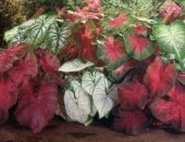Caladium Mixed