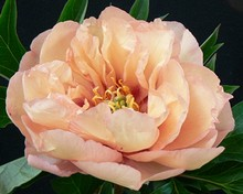 Peonia Canary Brilliants2