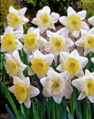 Narcisi corona grande Ice Follies