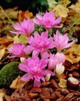 Crochi Colchicum Waterlily