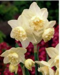 Narcisi doppio White Marvel
